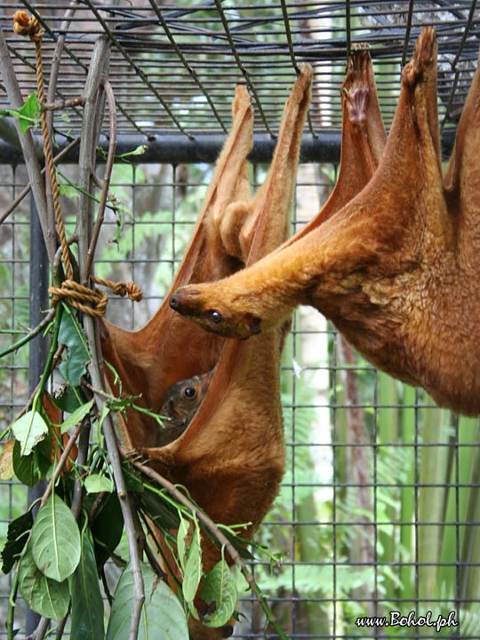 Kagwang or Philippine Flying Lemur