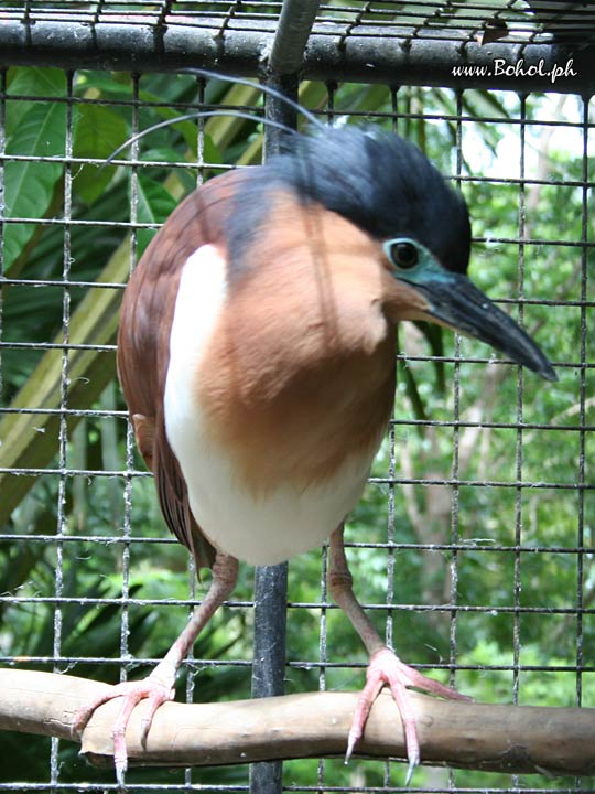 Philippine Rufous Night-Heron